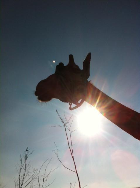 Giraffe im Tierpark Waltersdorf